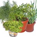 Огород на подоконнике: свежая зелень и украшение интерьера круглый год